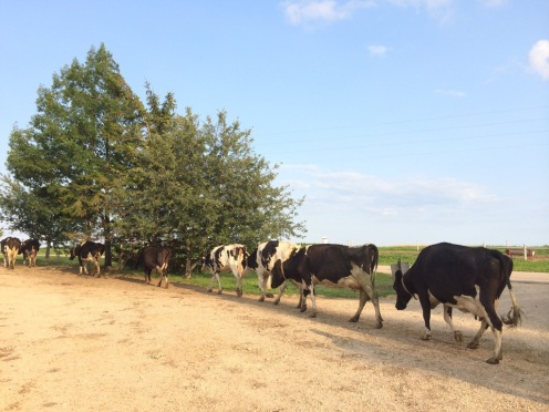 Wisconsin cows going to pasture image.jpg
